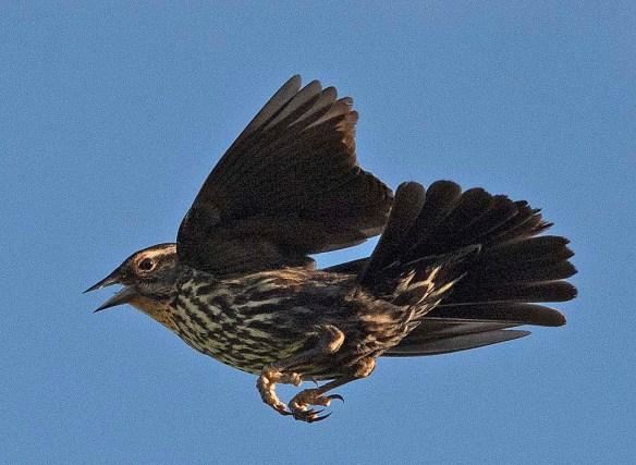 Red Winged Blackbird 2019-11