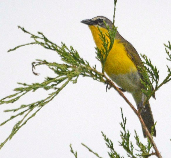 Yellow Breasted Chat 2019