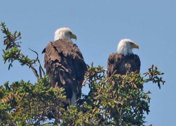 Bald Eagle 2019-10