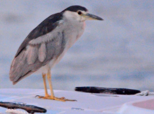 Black Crowned Night Heron 2019-5