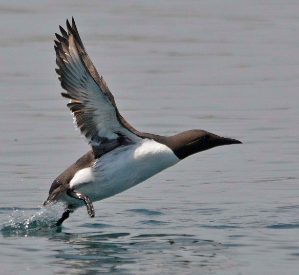 Common Murre 2019-3