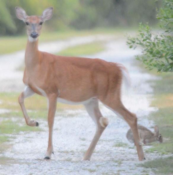 Deer 64