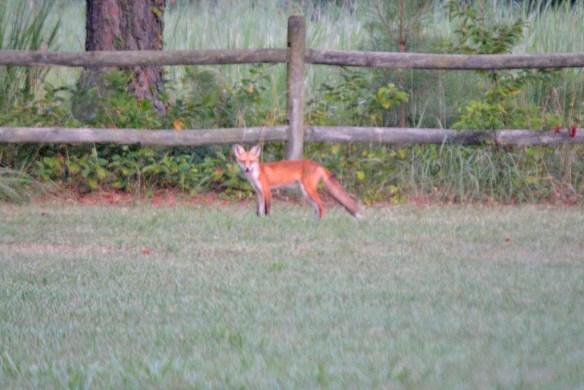 Fox 119