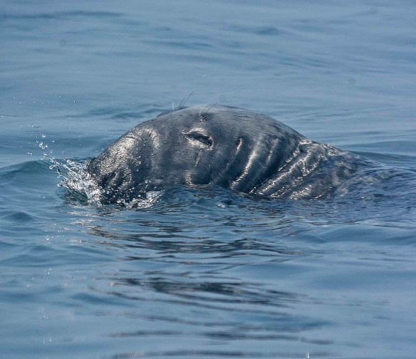 Gray Seal 1