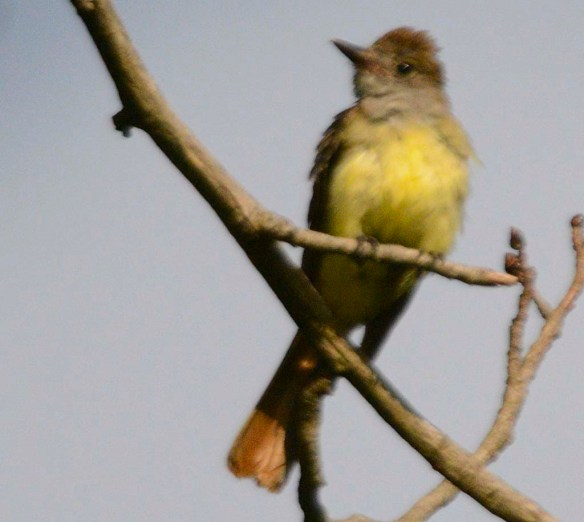 Great Crested Flycatcher 2019-102