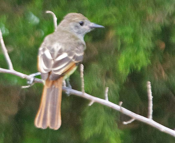 Great Crested Flycatcher 2019-104