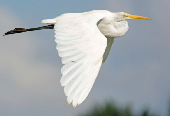 Great Egret 2019-110