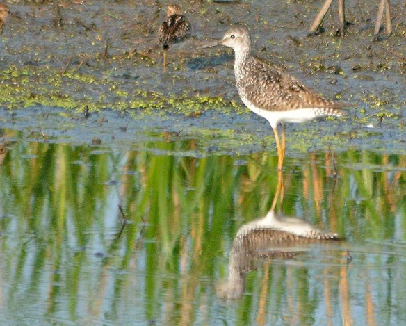 Greater Yellowlegs 2019-2