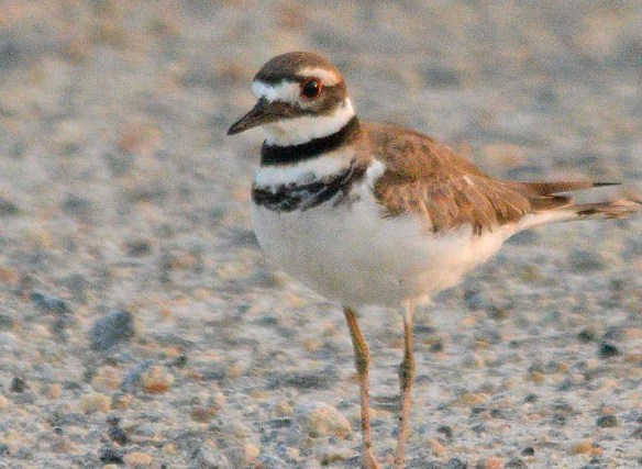 Killdeer 2019-2