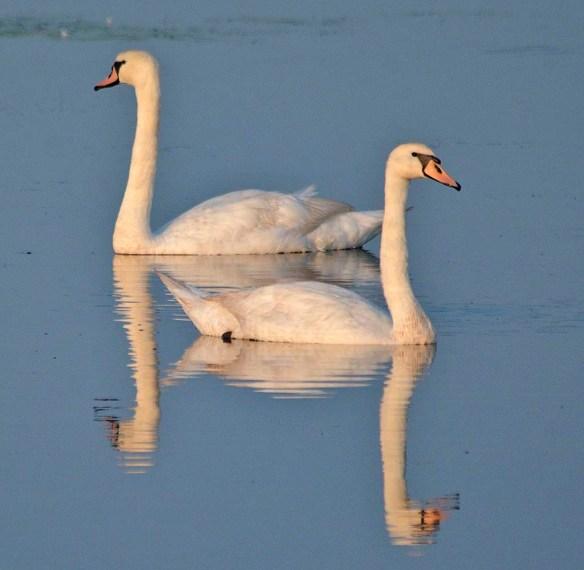 Mute Swan 2019-5
