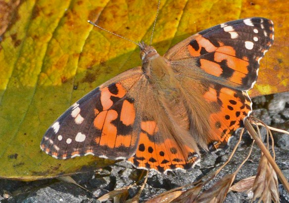 Painted Lady 9