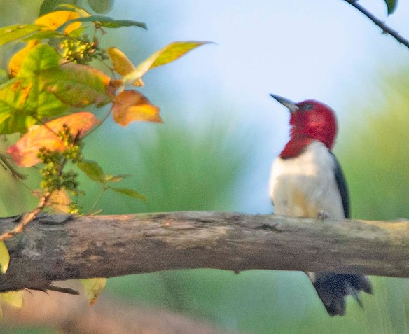 Red Headed Woodpecker 2019-19