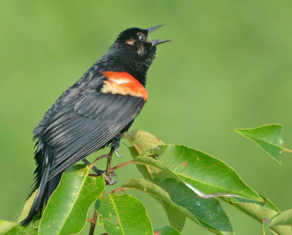 Red Winged Blackbird 2019-104