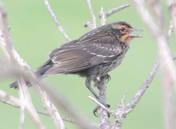 Red Winged Blackbird 2019-105
