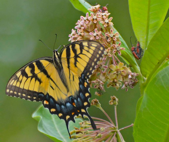 Western Tiger Swallowtail 105