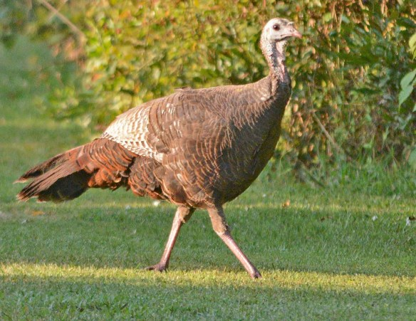 Wild Turkey 2019-22