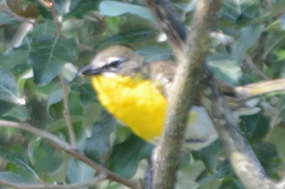 Yellow Breasted Chat 2019-111