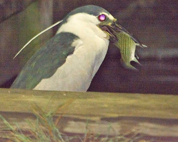 Black Crowned Night Heron 2019-7