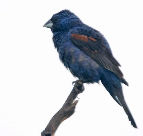 Blue Grosbeak 2019-8