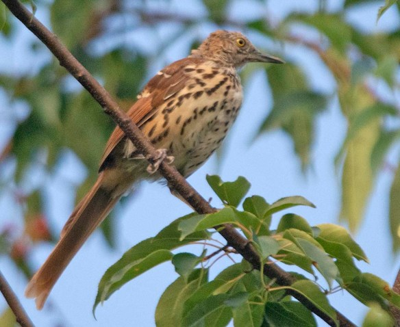 Brown Thrasher 2019-25