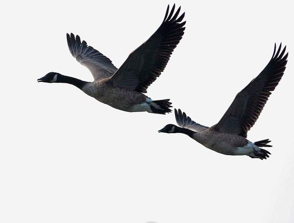 Canada Goose 2019-24