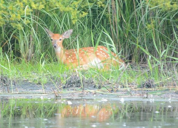 Deer-83