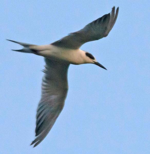 Forster's Tern 2019-13