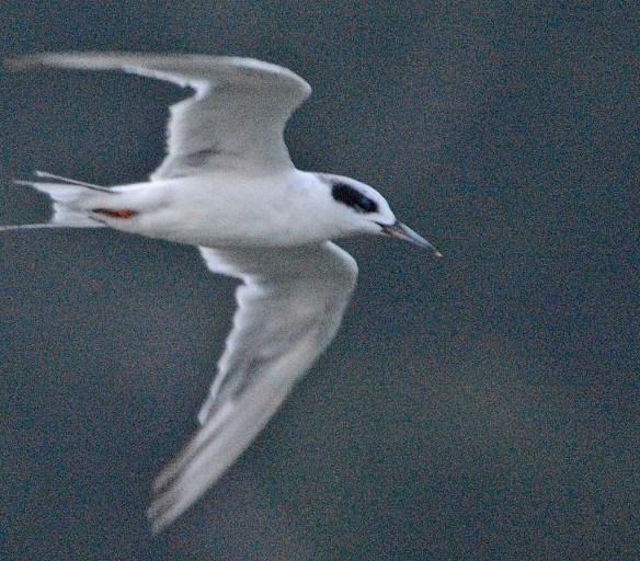 Forster's Tern 2019-34