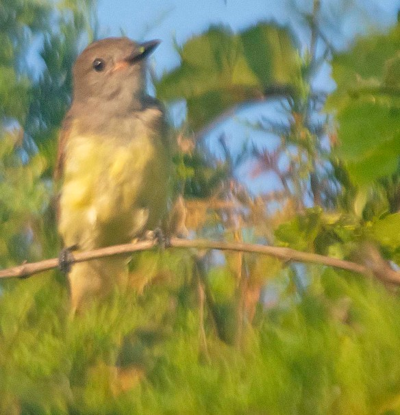Great Crested Flycatcher 2019-105
