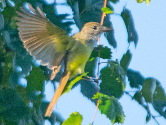 Great Crested Flycatcher 2019-107