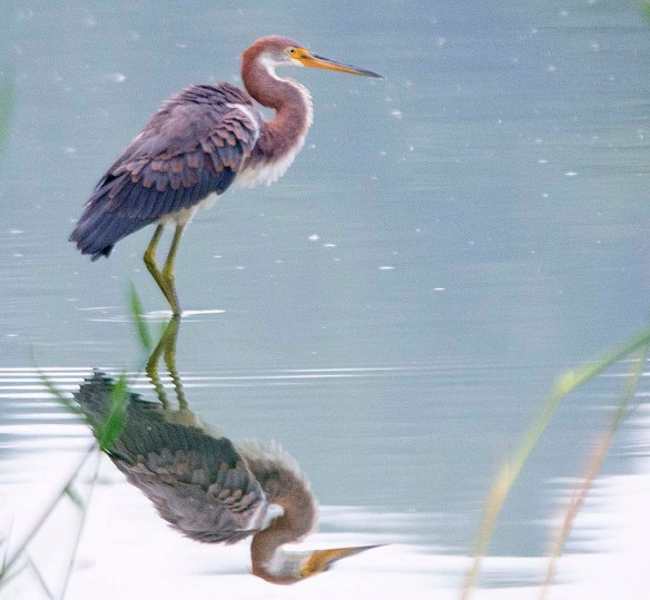 Tricolored Heron 2019-6