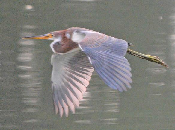 Tricolored Heron 2019-8