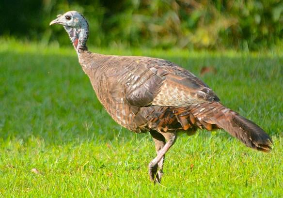 Wild Turkey 2019-68