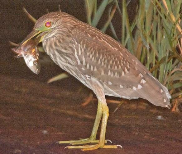 Black Crowned Night Heron 2019-20