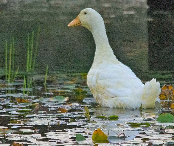 Domestic Goose 2019-4