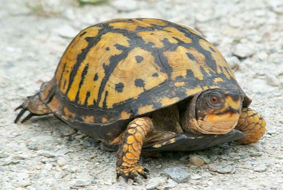 Eastern Box Turtle 14