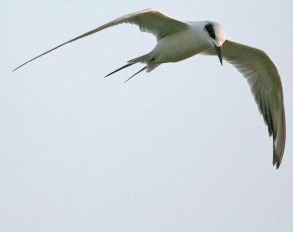 Forster's Tern 2019-44