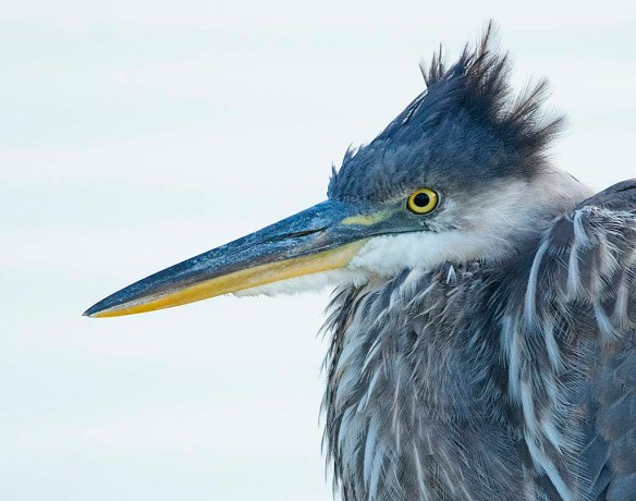 Great Blue Heron 2019-33