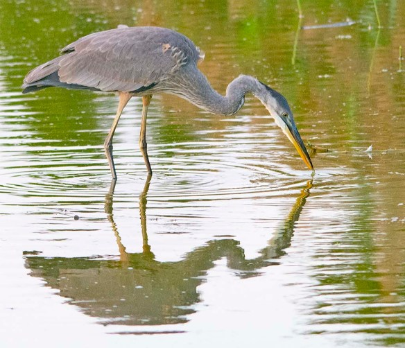 Great Blue Heron 2019-35