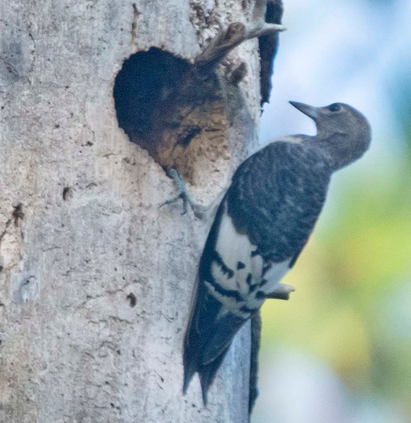 Red Headed Woodpecker 2019-29