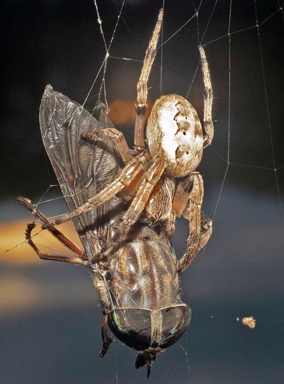 Spider 287