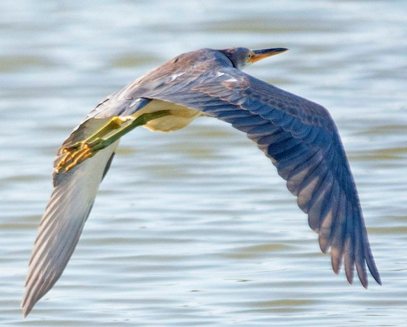 Tricolored Heron 2019-31