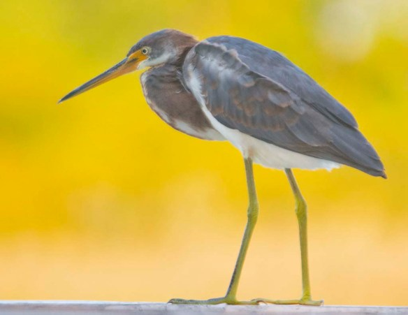 Tricolored Heron 2019-36