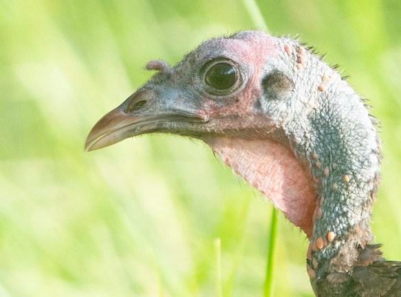 Wild Turkey 2019-71