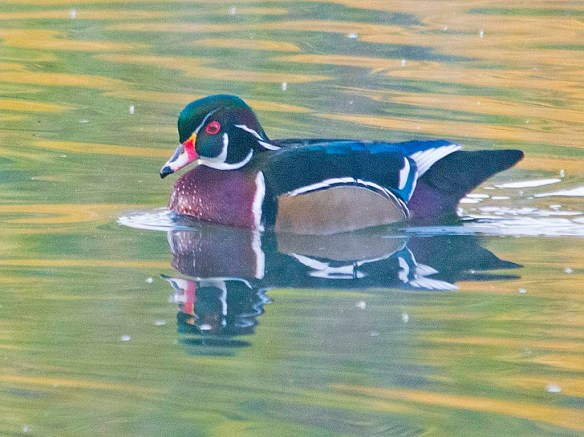 Wood Duck 2019-29