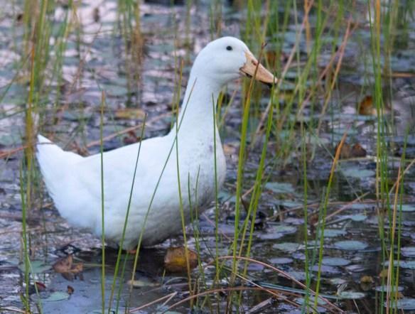 Domestic Goose 2019-6