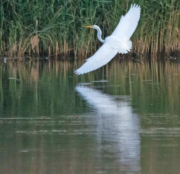 Great Egret 2019-258