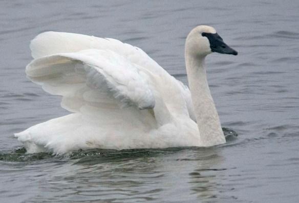 Tundra Swan 2019-38