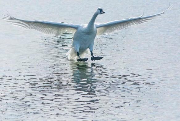Tundra Swan 2019-46