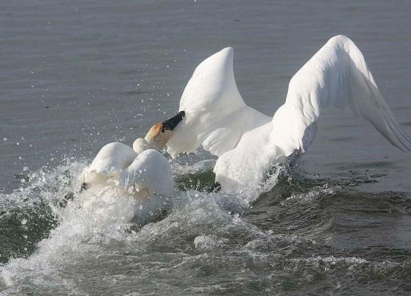 Tundra Swan 2019-52